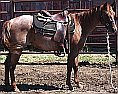 Red Roan Mare for Sale -- ML Cherry Berry